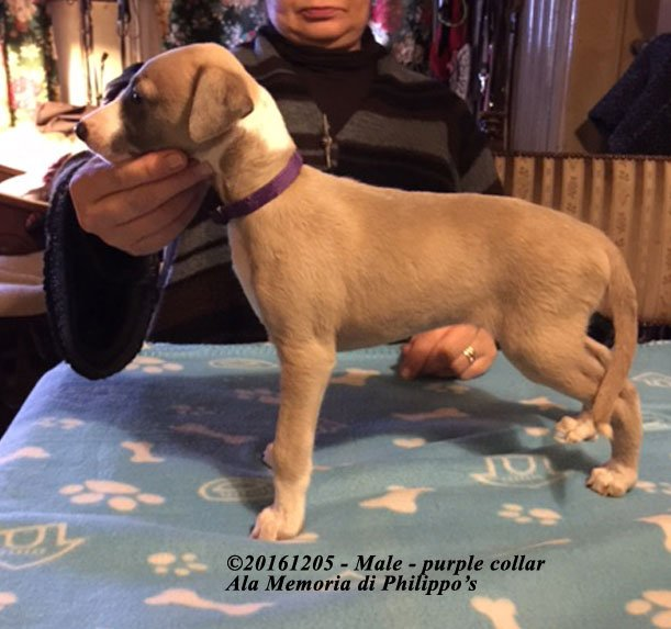 20161205 male purple collar left