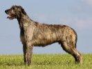 sires / vaders van enkele amdp honden